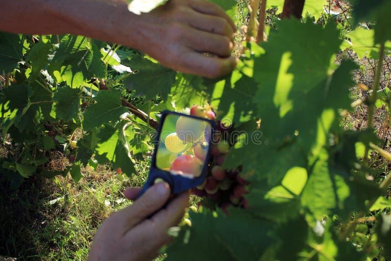 Ο κηπουρός εξετάζει τις δέσμες σταφυλιών μέσω της ενίσχυσης - γυαλί στην αγκράφα στοκ εικόνες με δικαίωμα ελεύθερης χρήσης