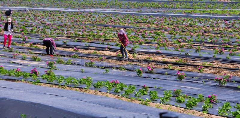 Ο κηπουρός εργάζεται στον τομέα λουλουδιών στοκ φωτογραφίες με δικαίωμα ελεύθερης χρήσης