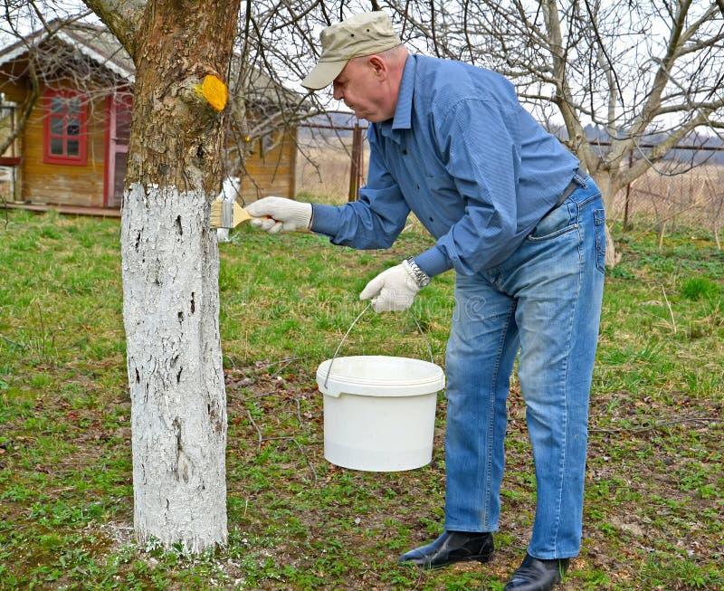 Ο κηπουρός λευκαίνει τον κορμό ενός δέντρου μηλιάς στο dacha Εργασία κήπων άνοιξη στοκ φωτογραφία με δικαίωμα ελεύθερης χρήσης
