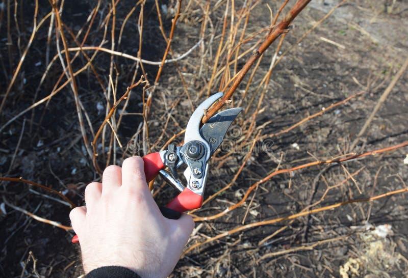 Ο κηπουρός που κόβει το σμέουρο idaeus Rubus, κάλεσε επίσης το κόκκινο σμέουρο ή περιστασιακά ως ευρωπαϊκό θάμνο σμέουρων στοκ φωτογραφία με δικαίωμα ελεύθερης χρήσης