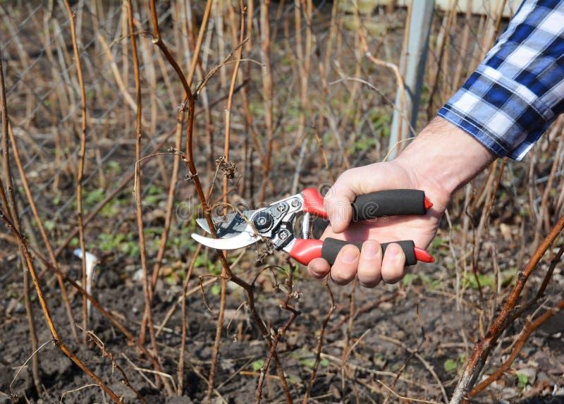 Ο κηπουρός που κόβει το σμέουρο idaeus Rubus, κάλεσε επίσης το κόκκινο σμέουρο ή περιστασιακά ως ευρωπαϊκό σμέουρο στοκ εικόνες με δικαίωμα ελεύθερης χρήσης