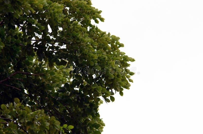 Ο κλάδος δέντρων με πράσινο βγάζει φύλλα απομονωμένος στο λευκό στοκ εικόνες με δικαίωμα ελεύθερης χρήσης