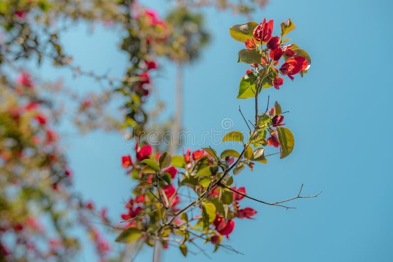 Ο κλάδος με πράσινο και το κόκκινο βγάζει φύλλα στοκ φωτογραφία με δικαίωμα ελεύθερης χρήσης