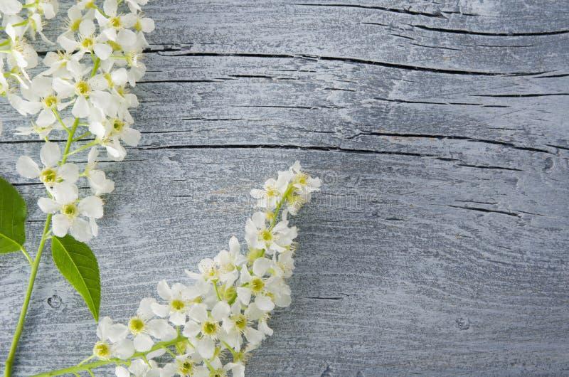 Ο κλάδος του δέντρου κερασιών πουλιών ανθών στο κατασκευασμένο ξύλο πινάκων ηλικίας με το διάστημα αντιγράφων, επίπεδος βάζει στοκ εικόνα