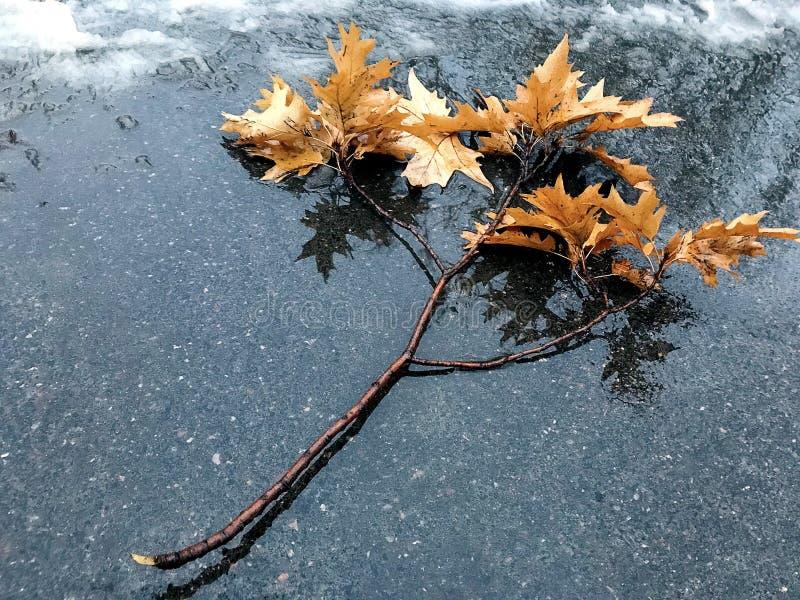 Ο κλάδος φθινοπώρου με τα κίτρινα φύλλα βρίσκεται στο παγωμένο πεζοδρόμιο στοκ φωτογραφία