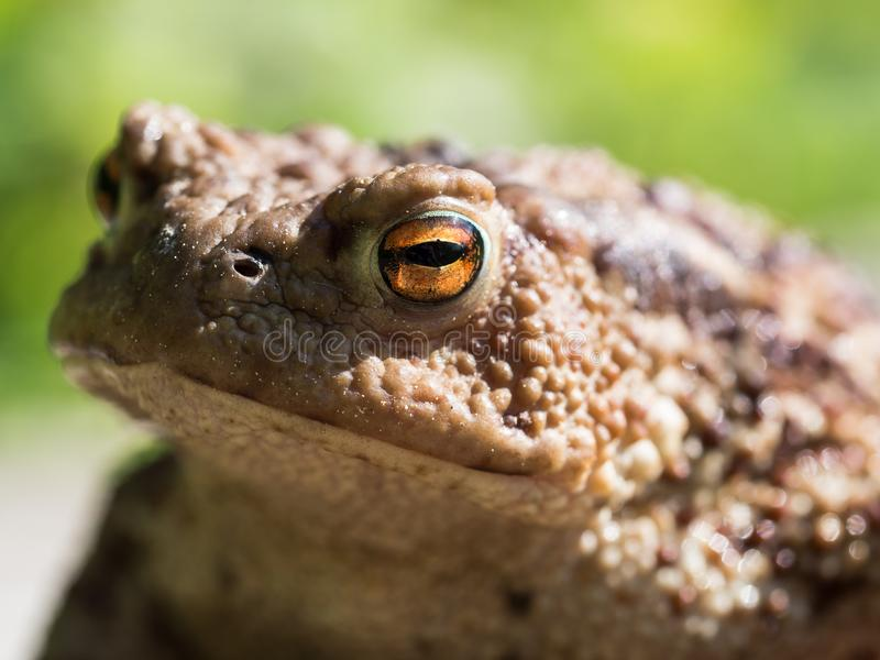Ο κοινός βάτραχος φρύνων, ευρωπαϊκό bufo bufo φρύνων είναι ένα αμφίβιο που βρίσκεται σε όλους την μεγαλύτερη μέρος της Ευρώπης στοκ φωτογραφία με δικαίωμα ελεύθερης χρήσης