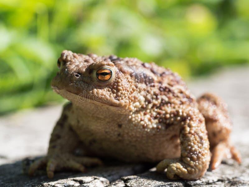 Ο κοινός βάτραχος φρύνων, ευρωπαϊκό bufo bufo φρύνων είναι ένα αμφίβιο που βρίσκεται σε όλους την μεγαλύτερη μέρος της Ευρώπης στοκ εικόνες
