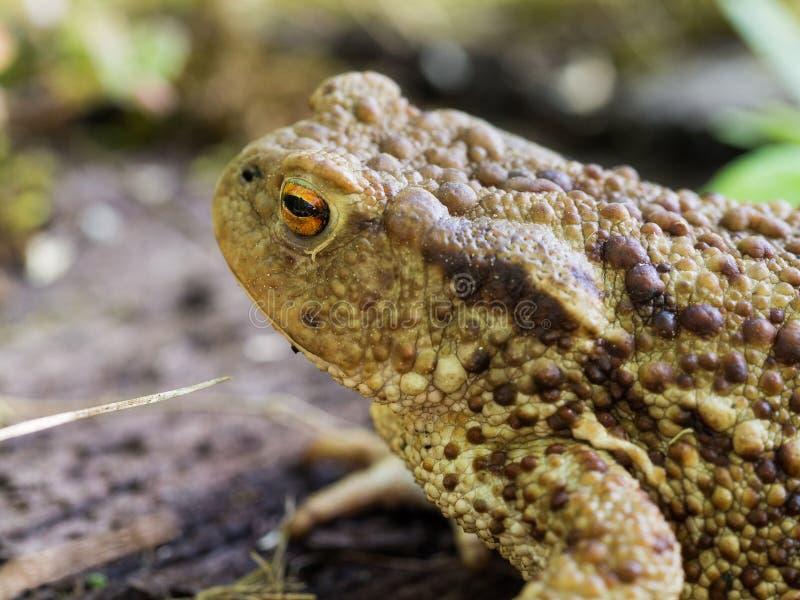 Ο κοινός βάτραχος φρύνων, ευρωπαϊκό bufo bufo φρύνων είναι ένα αμφίβιο που βρίσκεται σε όλους την μεγαλύτερη μέρος της Ευρώπης στοκ εικόνες με δικαίωμα ελεύθερης χρήσης