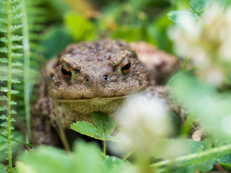 Ο κοινός βάτραχος φρύνων, ευρωπαϊκό bufo bufo φρύνων είναι ένα αμφίβιο που βρίσκεται σε όλους την μεγαλύτερη μέρος της Ευρώπης στοκ φωτογραφίες