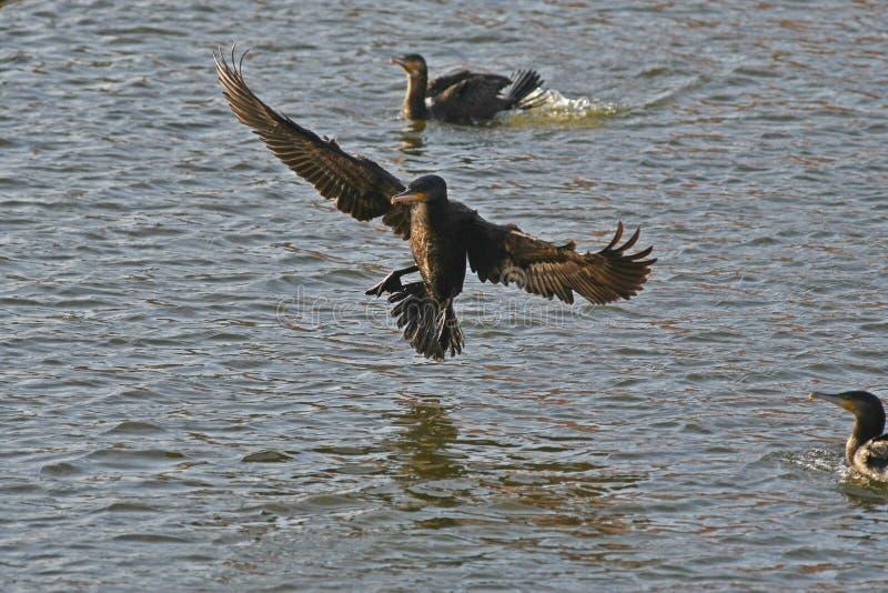 Ο κορμοράνος - ένας τέλειος αεροπόρος, κολυμπά και βουτά καλά, το φτέρωμα δεν είναι αδιάβροχο στοκ φωτογραφία με δικαίωμα ελεύθερης χρήσης