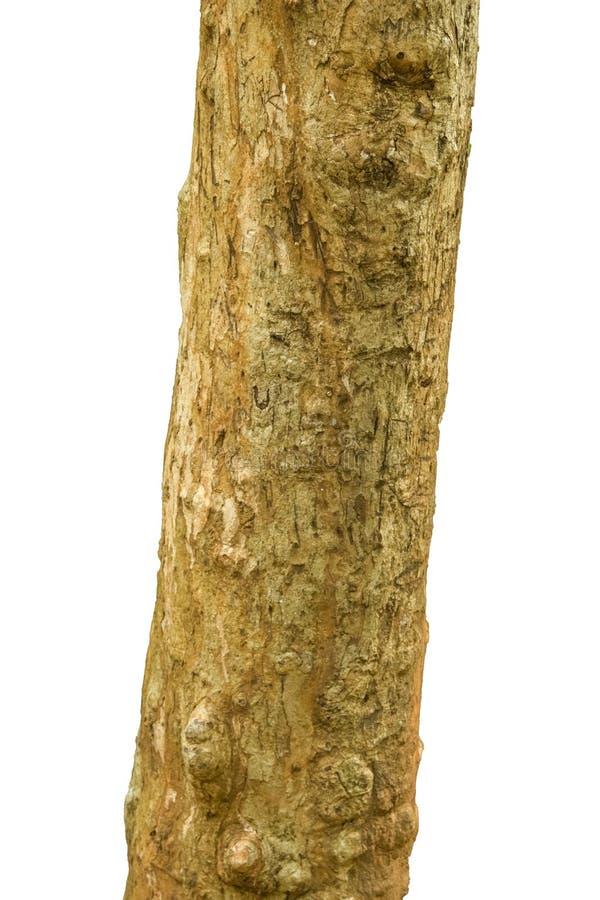 Ο κορμός δέντρων στοκ εικόνα