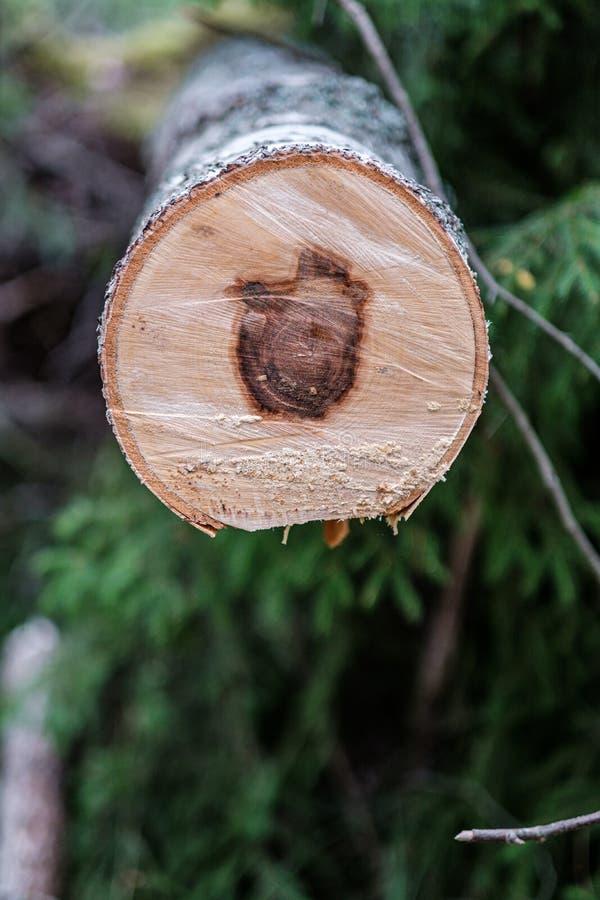 ο κορμός δέντρων περικοπών πριονιών με το έτος χτυπά και είδε τη σκόνη στοκ εικόνα