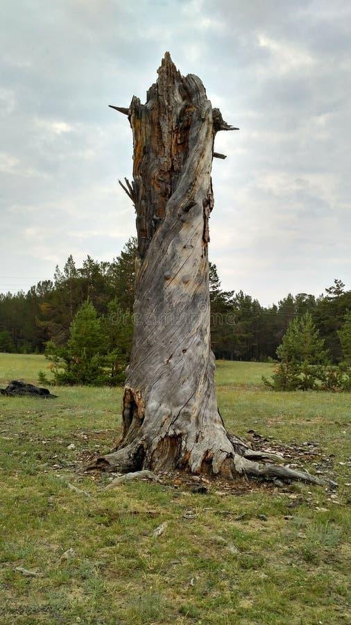 Ο κορμός ενός ξηρού, στριμμένου ξύλου του λευκαμένου ξύλου με τον ήλιο αέρα στοκ εικόνα