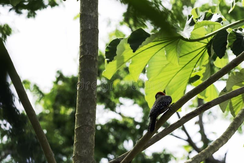 Ο κουβανικός πράσινος δρυοκολάπτης ενδημικός της Κούβας - Peninsula de Zapata στο National πάρκο, Κούβα στοκ φωτογραφία
