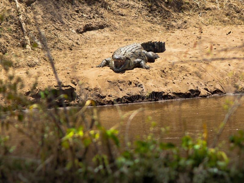 Ο κροκόδειλος με το ανοικτό στόμα βρίσκεται στην ακτή  στοκ φωτογραφίες με δικαίωμα ελεύθερης χρήσης