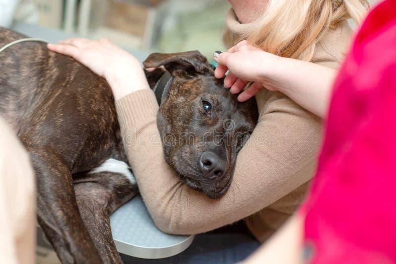 Ο κτηνίατρος γιατρών κάνει έναν υπέρηχο και ένα καρδιογράφημα της καρδιάς ενός σκυλιού στο γραφείο μιας κτηνιατρικής κλινικής στοκ εικόνα με δικαίωμα ελεύθερης χρήσης