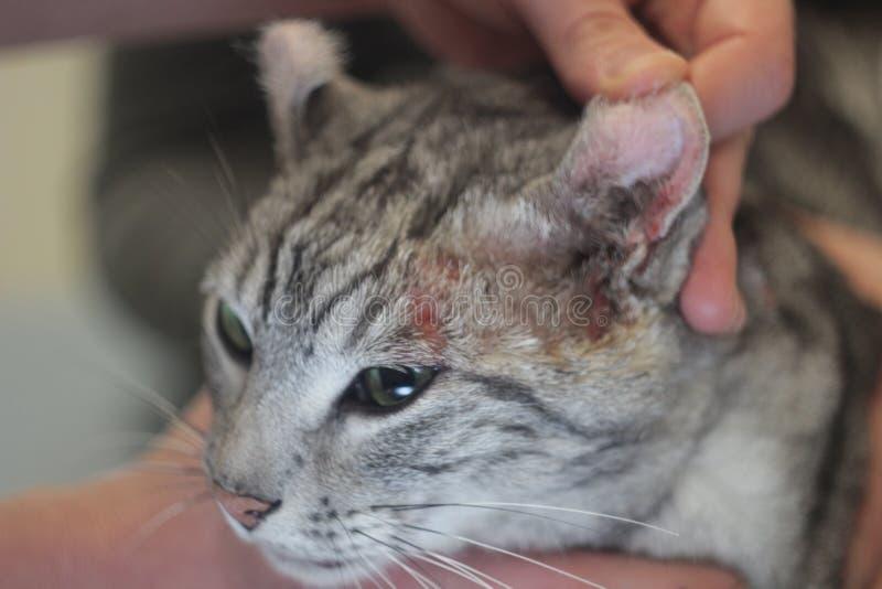 Ο κτηνίατρος θεραπεύει το μάτι της γάτας στοκ εικόνες με δικαίωμα ελεύθερης χρήσης