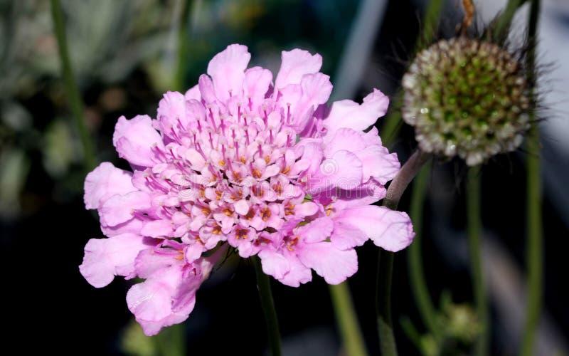 Ο κυματισμός columbaria ` Scabiosa αυξήθηκε ρόδινο ` στοκ εικόνες