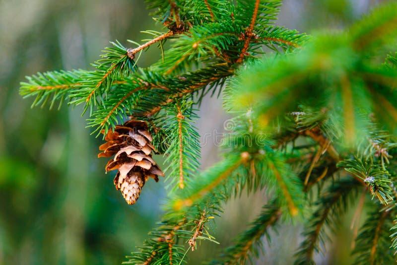 Ο κωνοφόρος κώνος ωριμάζει στην πράσινη μακροεντολή κλάδων αειθαλές φυτό στοκ εικόνα με δικαίωμα ελεύθερης χρήσης