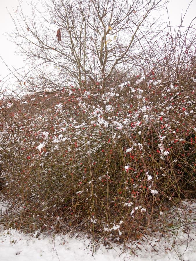 ο κόκκινος Μπους μούρων κάλυψης χιονιού και καφετί δέντρο κλάδων έξω από το χειμώνα στοκ φωτογραφία με δικαίωμα ελεύθερης χρήσης