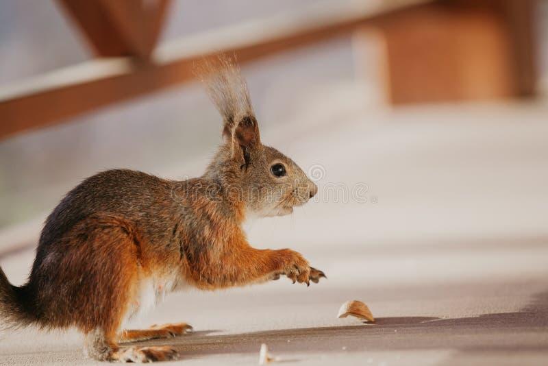 Ο κόκκινος σκίουρος με μακρυμάλλη στα αυτιά έριξε το καρύδι στοκ φωτογραφίες με δικαίωμα ελεύθερης χρήσης