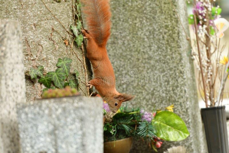 Ο κόκκινος σκίουρος Sciurine αναρριχείται και πηδώντας στα δέντρα στοκ εικόνες με δικαίωμα ελεύθερης χρήσης