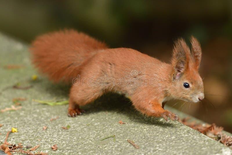 Ο κόκκινος σκίουρος Sciurine αναρριχείται και πηδώντας στα δέντρα στοκ εικόνα