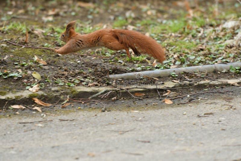 Ο κόκκινος σκίουρος Sciurine αναρριχείται και πηδώντας στα δέντρα στοκ φωτογραφία με δικαίωμα ελεύθερης χρήσης
