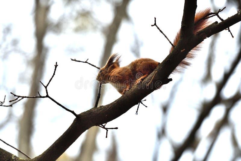 Ο κόκκινος σκίουρος Sciurine αναρριχείται και πηδώντας στα δέντρα στοκ φωτογραφία