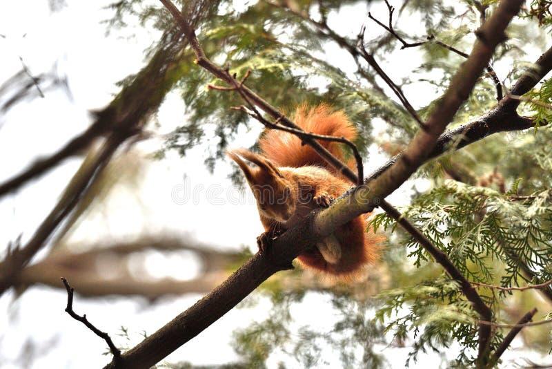 Ο κόκκινος σκίουρος Sciurine αναρριχείται και πηδώντας στα δέντρα στοκ εικόνα με δικαίωμα ελεύθερης χρήσης