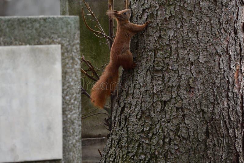 Ο κόκκινος σκίουρος Sciurine αναρριχείται και πηδώντας στα δέντρα στοκ φωτογραφίες