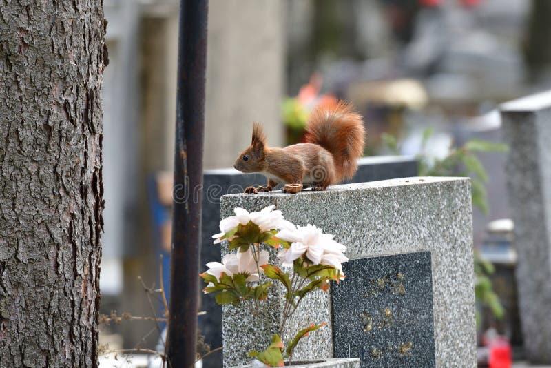 Ο κόκκινος σκίουρος Sciurine αναρριχείται και πηδώντας στα δέντρα στοκ φωτογραφίες με δικαίωμα ελεύθερης χρήσης