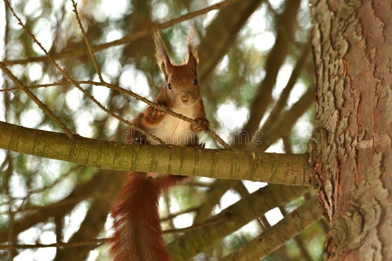 Ο κόκκινος σκίουρος Sciurine αναρριχείται και πηδώντας στα δέντρα στοκ εικόνες