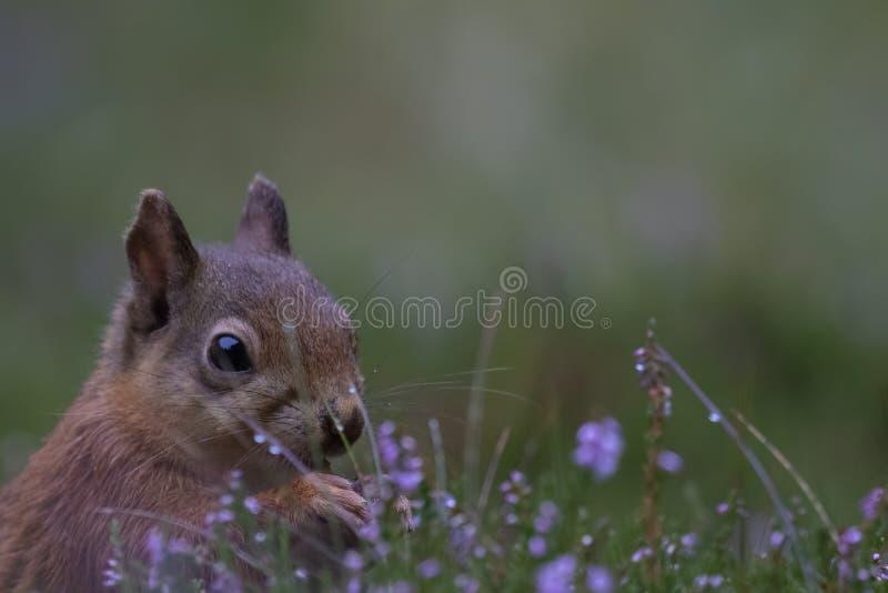 Ο κόκκινος σκίουρος, Sciurus vulgaris, κλείνει επάνω να φάει ένα καρύδι γύρω από την πορφύρα, που ανθίζει την ερείκη στα cairngor στοκ φωτογραφίες με δικαίωμα ελεύθερης χρήσης