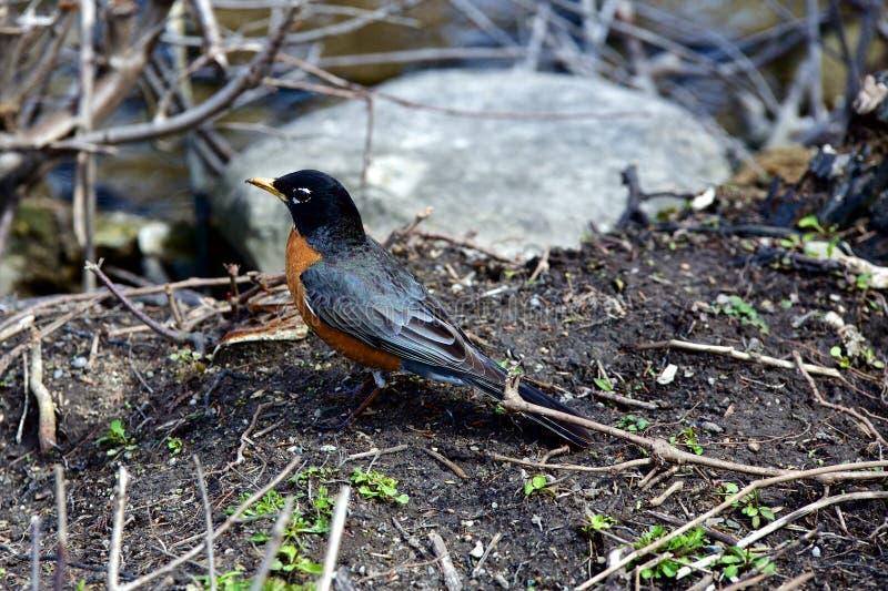 ο κόκκινος Robin στοκ φωτογραφίες