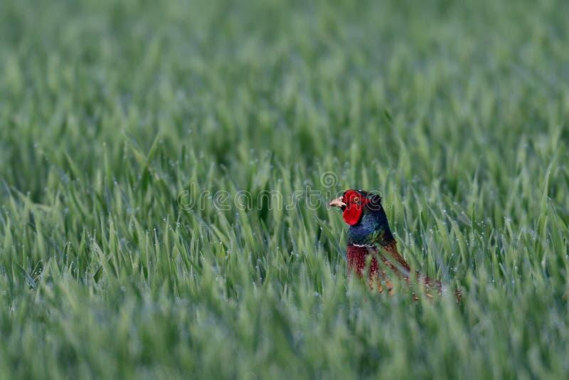Ο κόκκορας φασιανών κοιτάζει έξω από τον αγρό, άνοιξη στοκ εικόνες με δικαίωμα ελεύθερης χρήσης