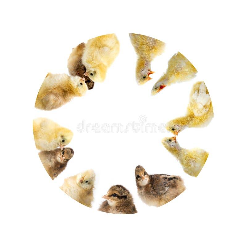 Ο κύκλος από τα κοτόπουλα στοκ εικόνα