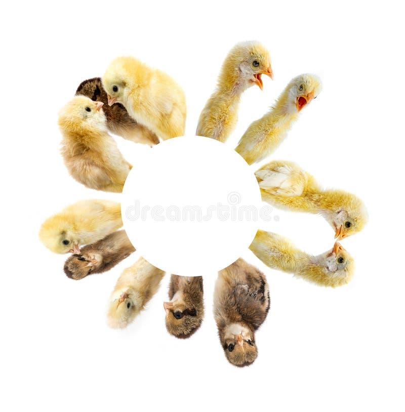Ο κύκλος από τα κοτόπουλα στοκ φωτογραφία