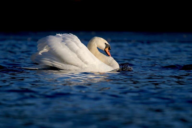 Ο Κύκνος στη λίμνη το χειμώνα στοκ φωτογραφίες με δικαίωμα ελεύθερης χρήσης