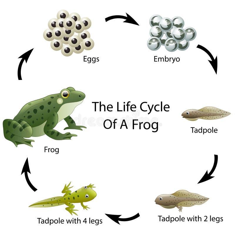 Ο κύκλος ζωής ενός βατράχου διανυσματική απεικόνιση