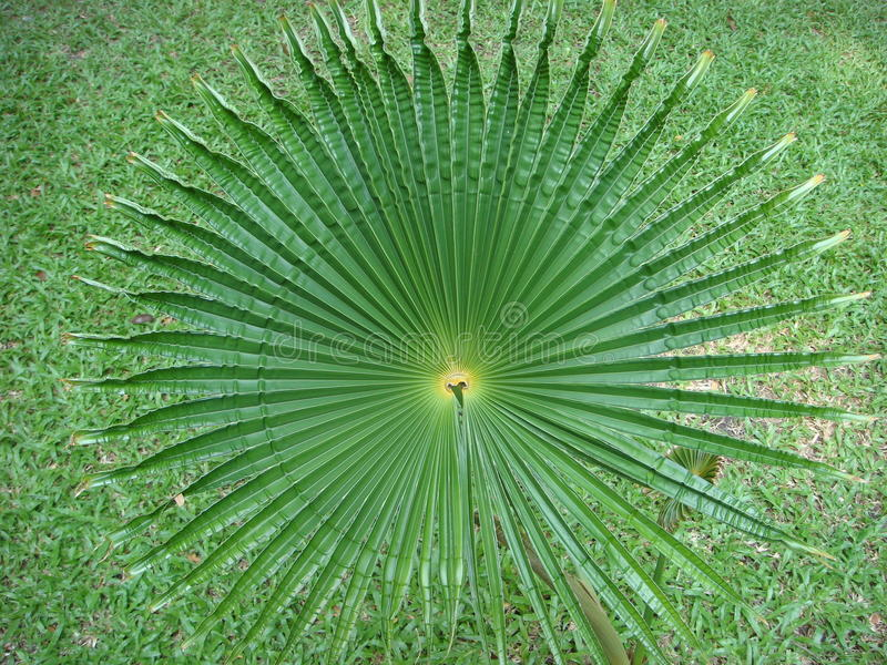 Ο κύκλος μπουκλών φύλλων Acanthus όπως μια ουρά χτυπήματος ะhe εμοίασε με έναν κότσυφα στοκ φωτογραφία