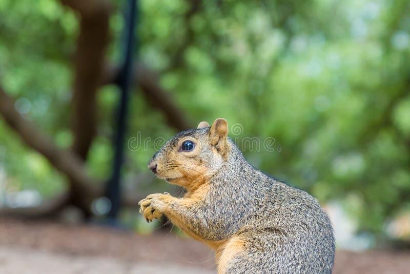 Ο κύριος σκίουρος στοκ φωτογραφία με δικαίωμα ελεύθερης χρήσης