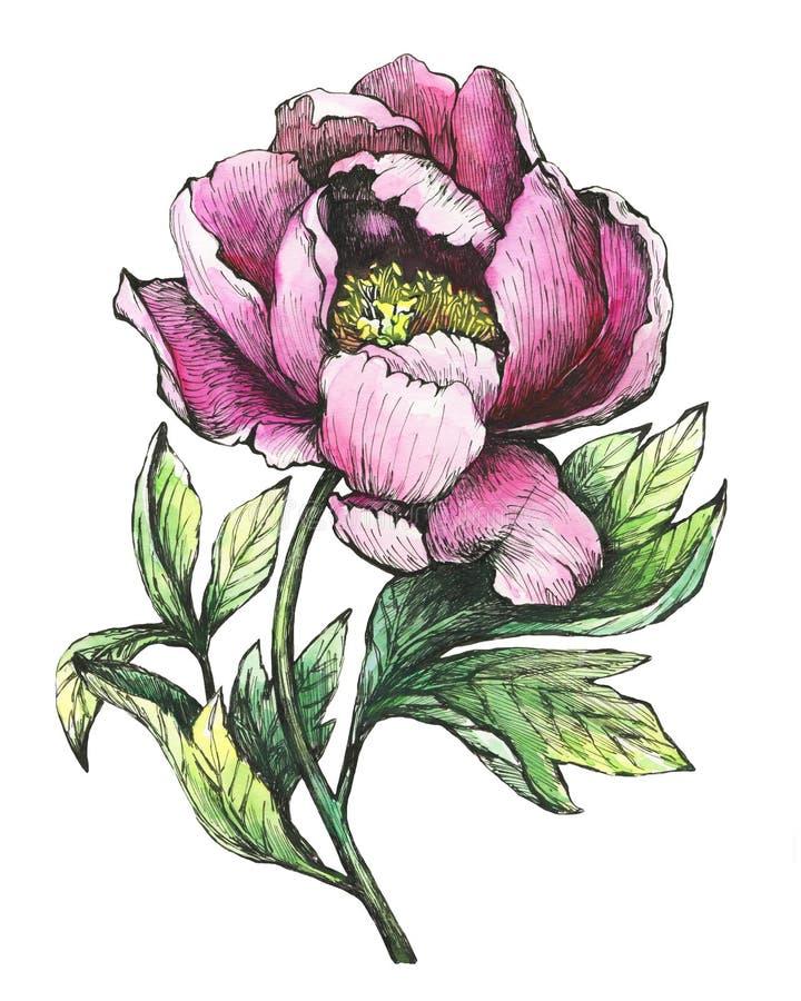 Ο κλάδος που ανθίζει τα ρόδινα peony peonies, paeony, paeonia, που απομονώνεται στο άσπρο υπόβαθρο ελεύθερη απεικόνιση δικαιώματος