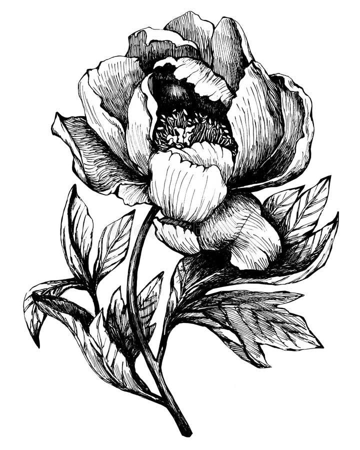 Ο κλάδος που ανθίζει τα peony peonies, paeony, paeonia, που απομονώνεται στο άσπρο υπόβαθρο απεικόνιση αποθεμάτων