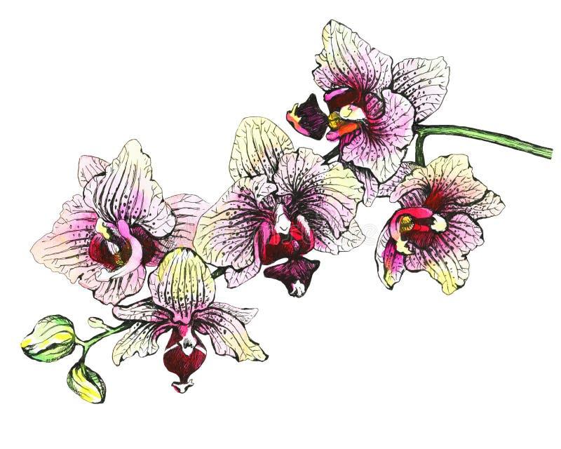 Ο κλάδος των ανθίζοντας τροπικών ρόδινων ορχιδεών λουλουδιών, κινηματογράφηση σε πρώτο πλάνο Phalaenopsis, orchis ελεύθερη απεικόνιση δικαιώματος