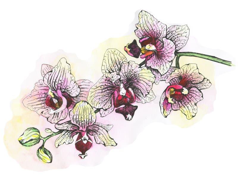 Ο κλάδος των ανθίζοντας τροπικών ρόδινων ορχιδεών λουλουδιών, κινηματογράφηση σε πρώτο πλάνο Phalaenopsis, orchis διανυσματική απεικόνιση