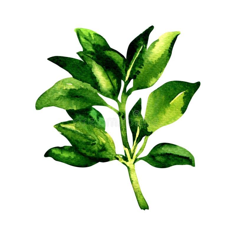 Ο κλάδος φρέσκου τα φύλλα βασιλικού, που απομονώνονται, απεικόνιση watercolor στο λευκό διανυσματική απεικόνιση