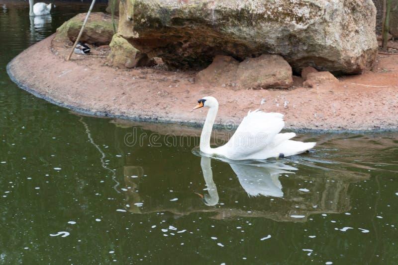 Ο λευκός βουβός Κύκνος στο νερό στοκ φωτογραφία με δικαίωμα ελεύθερης χρήσης
