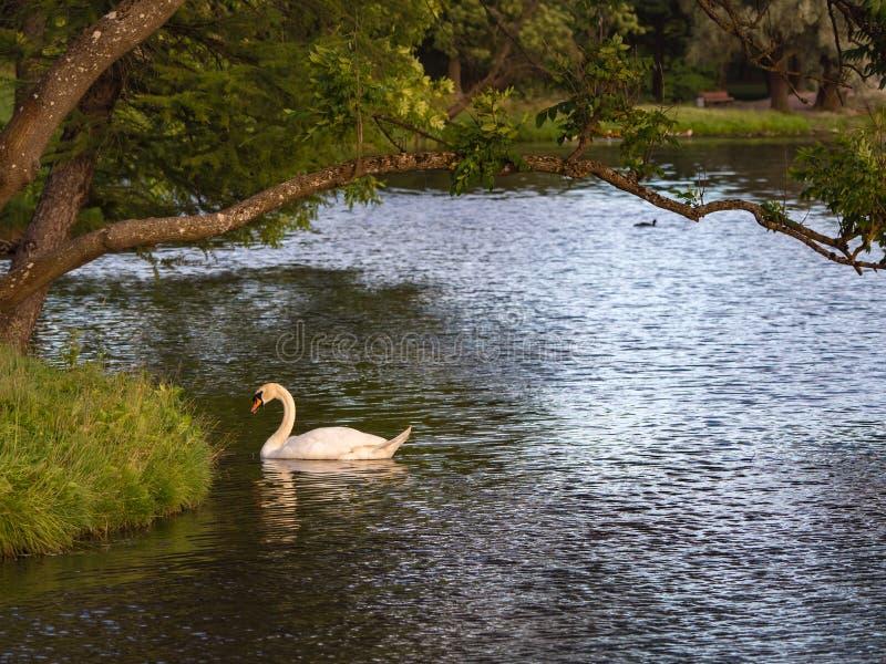 Ο λευκός Κύκνος στη λίμνη Πουλιά στο φυσικό περιβάλλον τους στοκ φωτογραφία με δικαίωμα ελεύθερης χρήσης