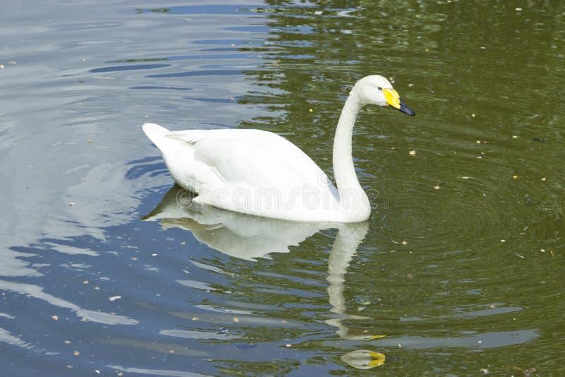 Ο λευκός Κύκνος στη λίμνη σε ένα φυσικό υπόβαθρο στοκ φωτογραφία με δικαίωμα ελεύθερης χρήσης
